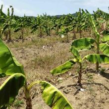 Cambio Climático golpea a la agricultura